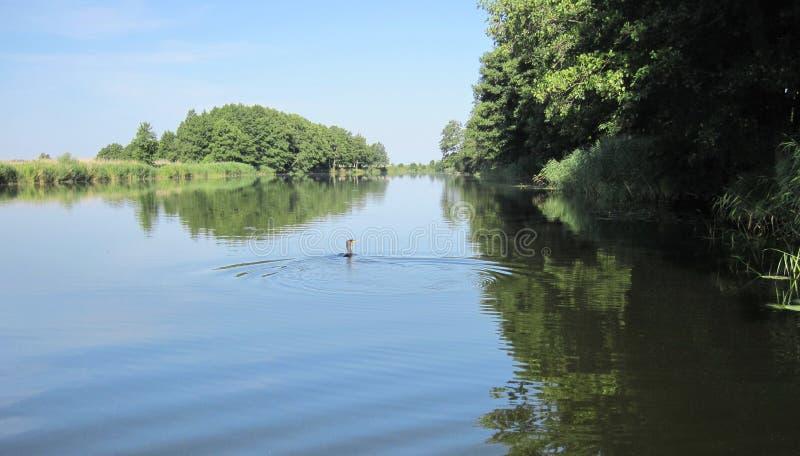 Kormoranu ptasi unosić się na wodzie obraz stock
