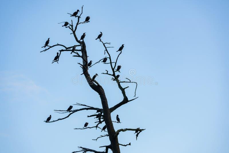 Kormoranvögel auf einem trockenen Baum lizenzfreies stockbild