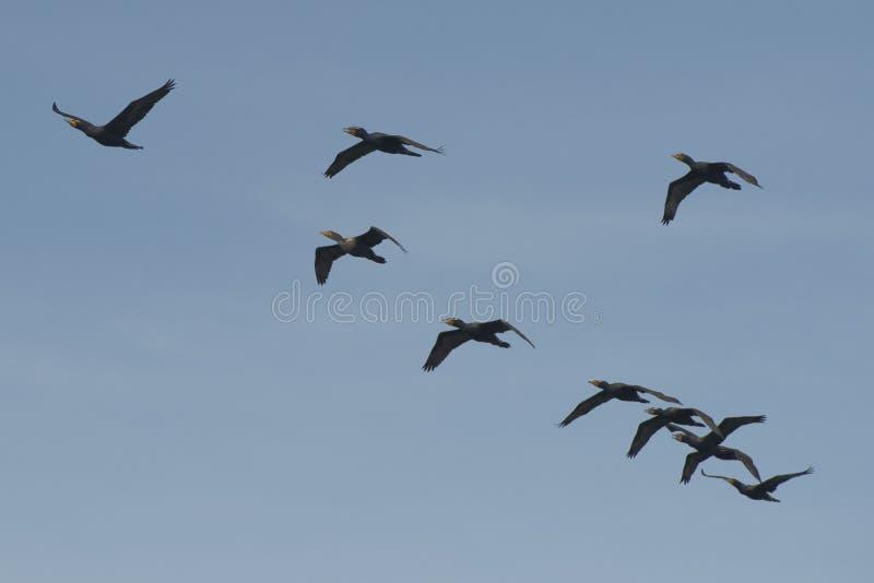 Kormoranvögel beim Fliegen lizenzfreies stockfoto
