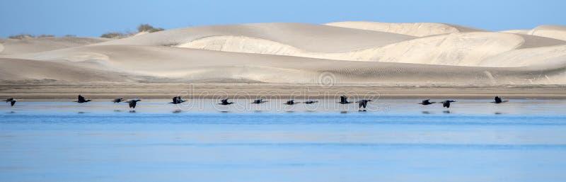 Kormoranvögel beim Fliegen auf tiefen blauen Ozeanhintergrund lizenzfreies stockfoto