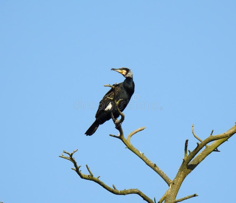 Kormoranvogel auf altem Baumast, Litauen lizenzfreies stockfoto