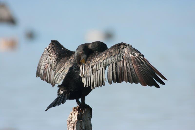 Kormoranwasservogel Emilia Romagna Italy stockbild