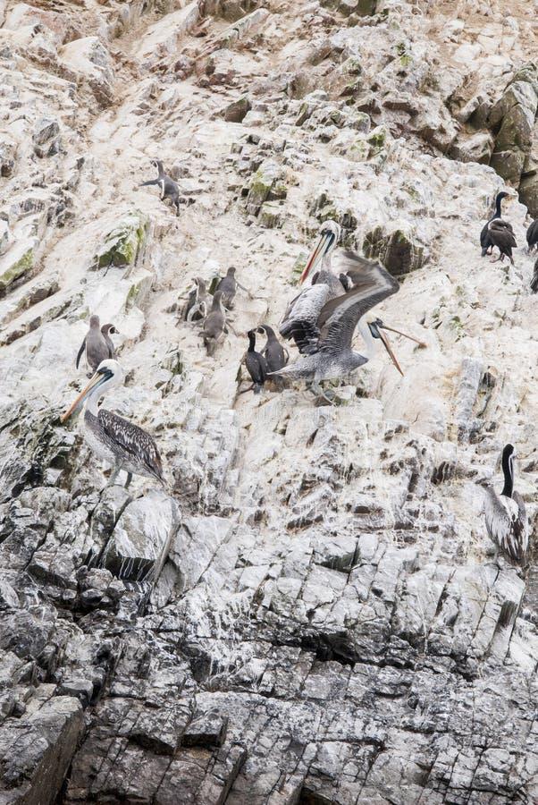 Kormorany, pingwiny i pelikany Na Ballestas wyspach, - Na zdjęcie royalty free