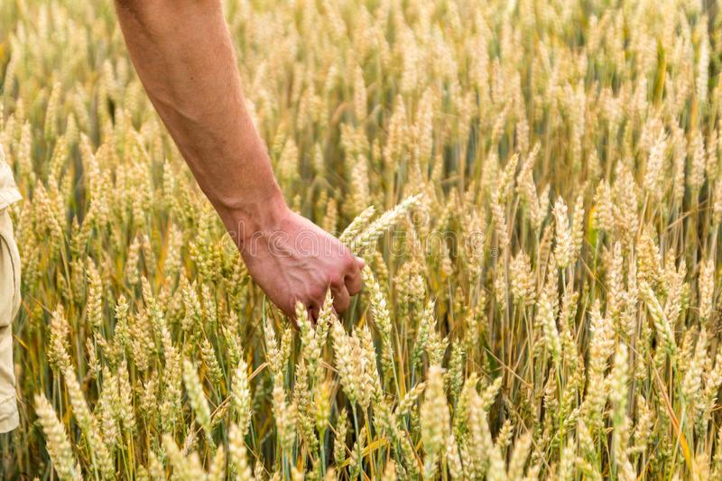 Korn f?r hand f?r man` s h?llande Jordbruk Solnedg?ng Bonde som trycker p? hans sk?rd med handen i ett guld- vetef?lt Skörda som  fotografering för bildbyråer