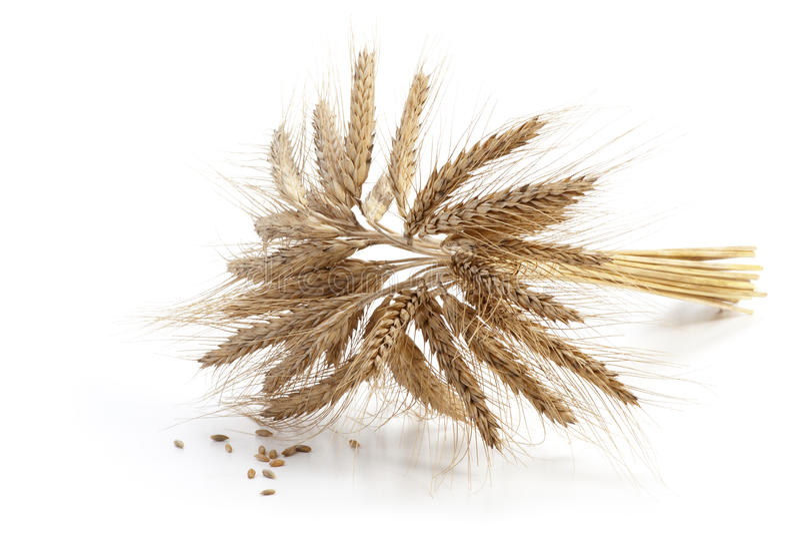 Korn gå i ax på vit arkivfoto