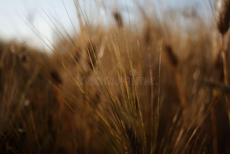 Korn (Hordeumvulgare) fotografering för bildbyråer