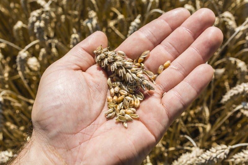 Korn och öra av vete förestående royaltyfri bild