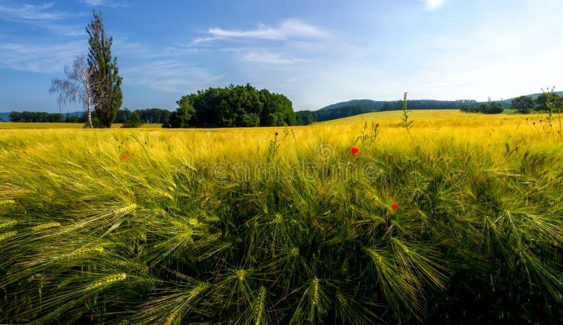 Korn p? f?ltet korn som ripening Landskap med fält av korn Vallmo i vetef?ltet Solnedgång på fält av korn royaltyfria foton