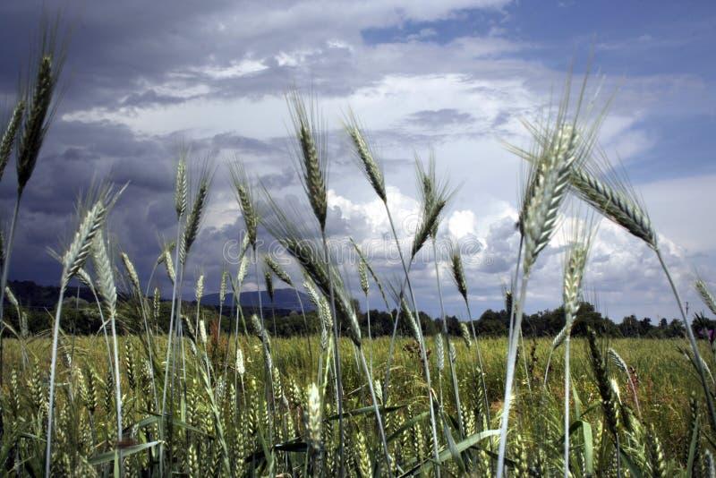 Korn specificerar på en stormig sommardag royaltyfri foto