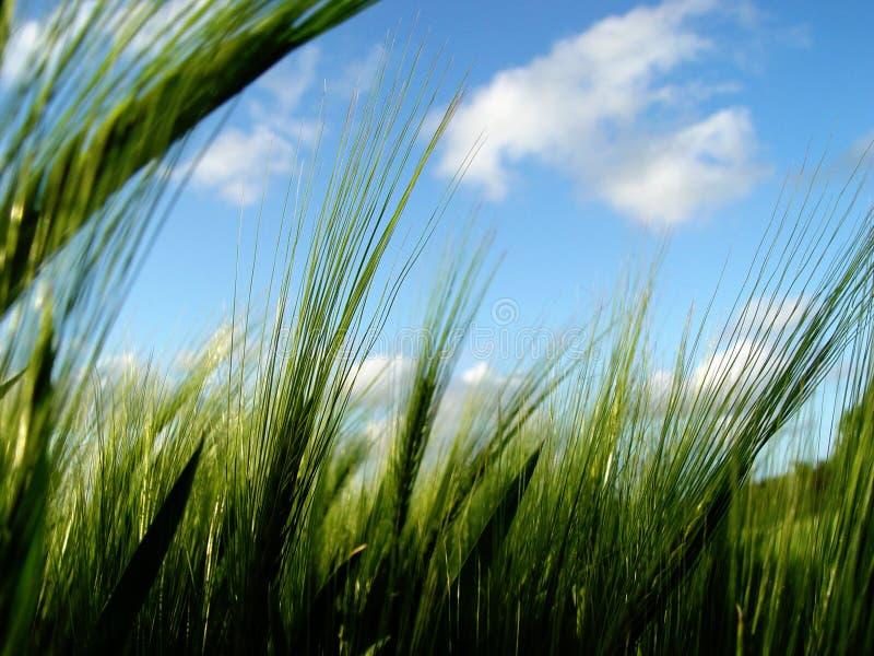 korn ut s arkivfoton