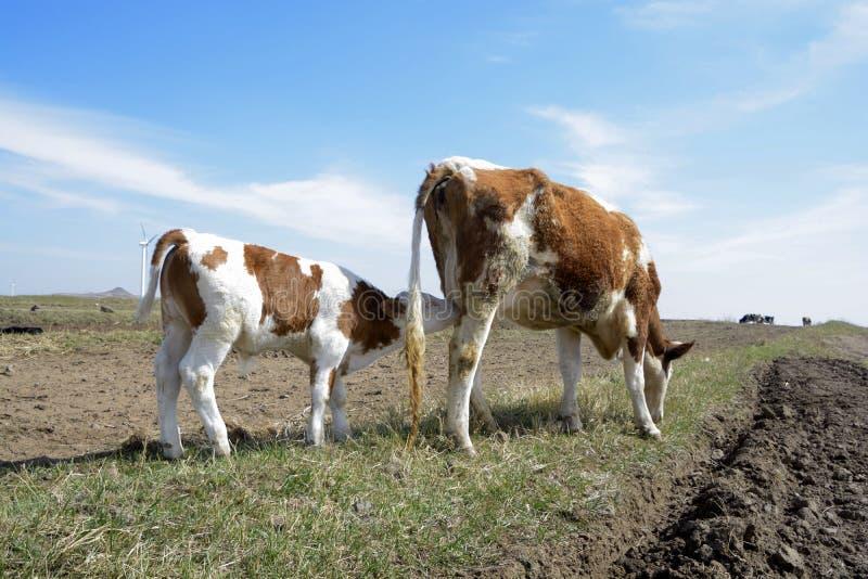 Korna som matar på gräset och deras kalvar royaltyfria bilder