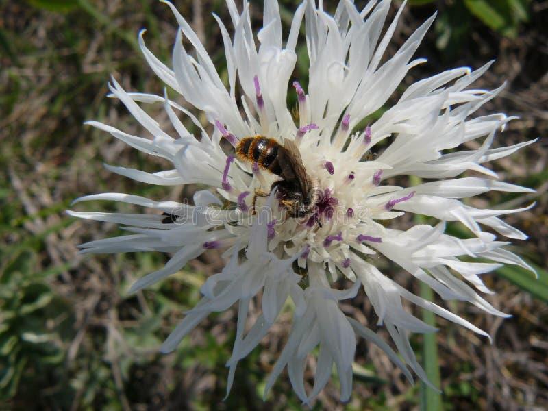 Kornblume mit Insekten lizenzfreies stockfoto