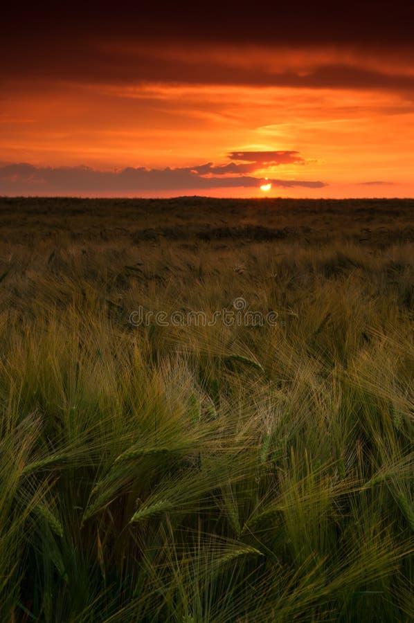 kornfält över solnedgång arkivbild