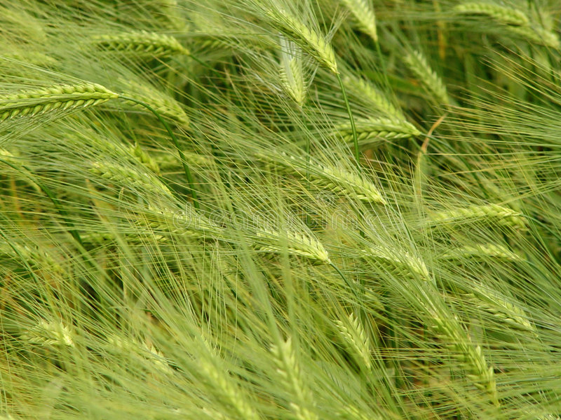 kornfält royaltyfri foto