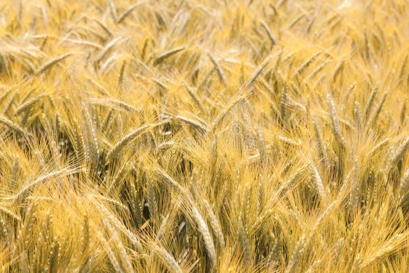 kornfält arkivfoton