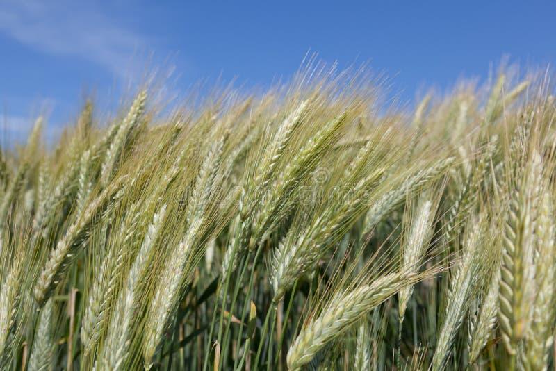 kornfält fotografering för bildbyråer