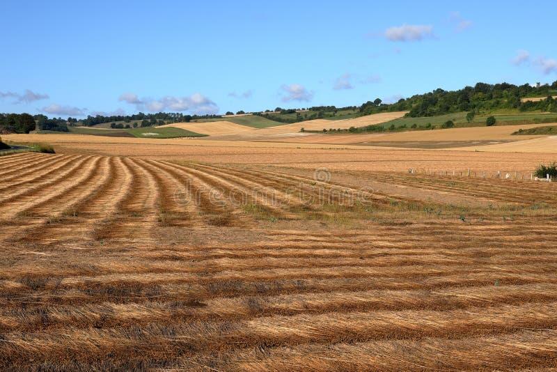 Kornfält efter skörd arkivfoton