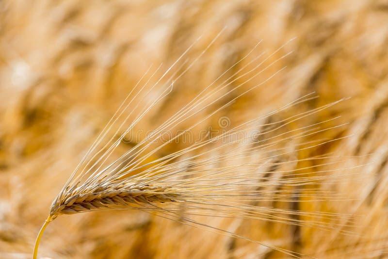 Kornfält för skörd royaltyfri fotografi