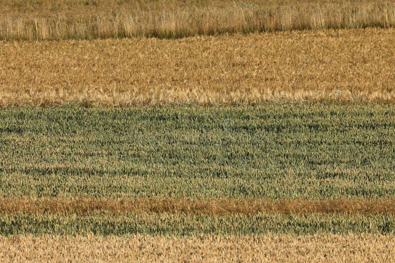 Kornfält för skörden royaltyfri fotografi