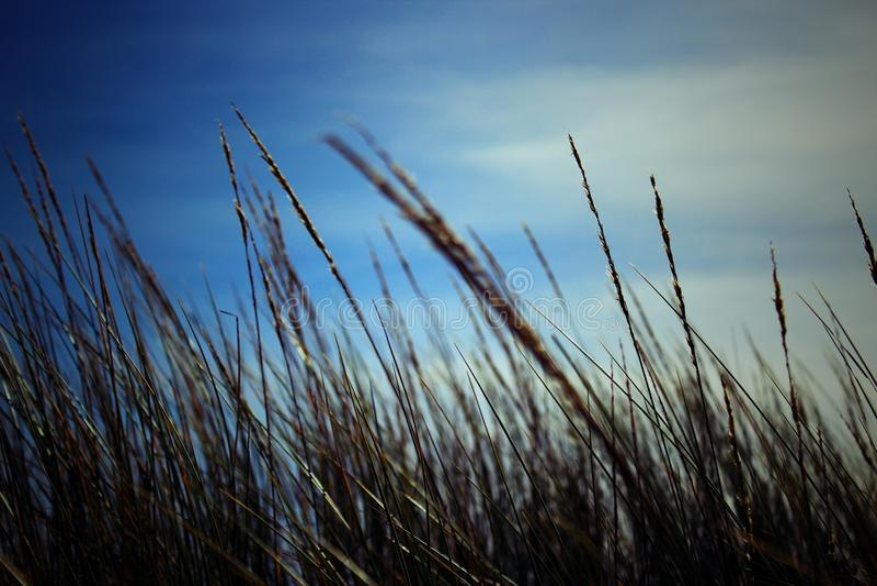 Kornfält i closeup med blå himmel i bakgrunden arkivfoto