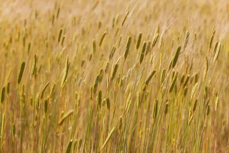 Kornfält i Provence royaltyfri bild