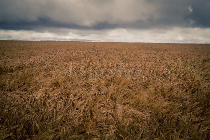 Kornfält med illavarslande moln royaltyfri bild