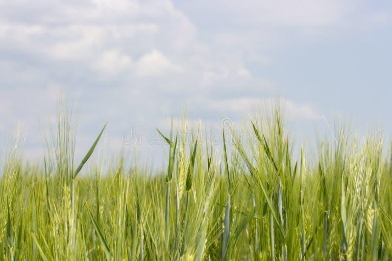 Kornfält med mognade gröna grova spikar, klar blå himmel med moln Sädes- skördar av jordbruks- växter, en bonde för veterågkorn arkivfoton
