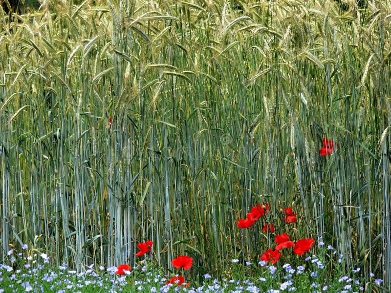 Kornfält med vallmoblommor arkivfoto