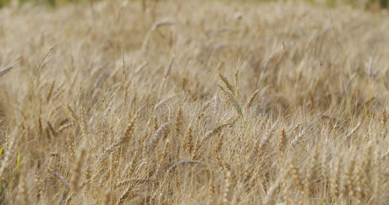Kornfält med vete eller råg som är klara för skörd arkivfoton