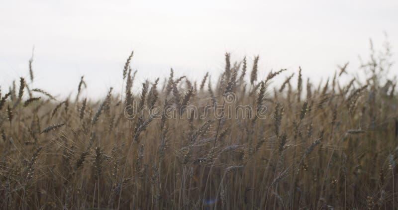 Kornfält med vete eller råg som är klara för skörd arkivbild