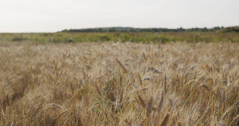 Kornfält med vete eller råg som är klara för skörd arkivbilder