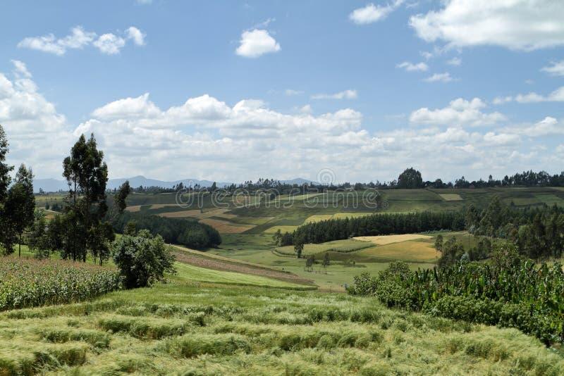 Kornfält och landskap i balbergen av Etiopien fotografering för bildbyråer