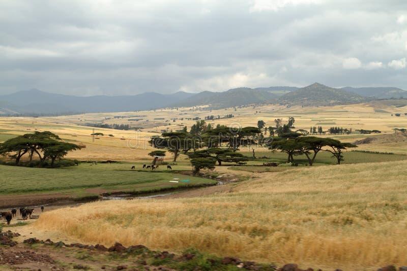 Kornfält och landskap i balbergen av Etiopien arkivbild