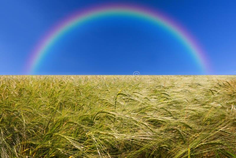 Kornfält och regnbåge arkivbilder