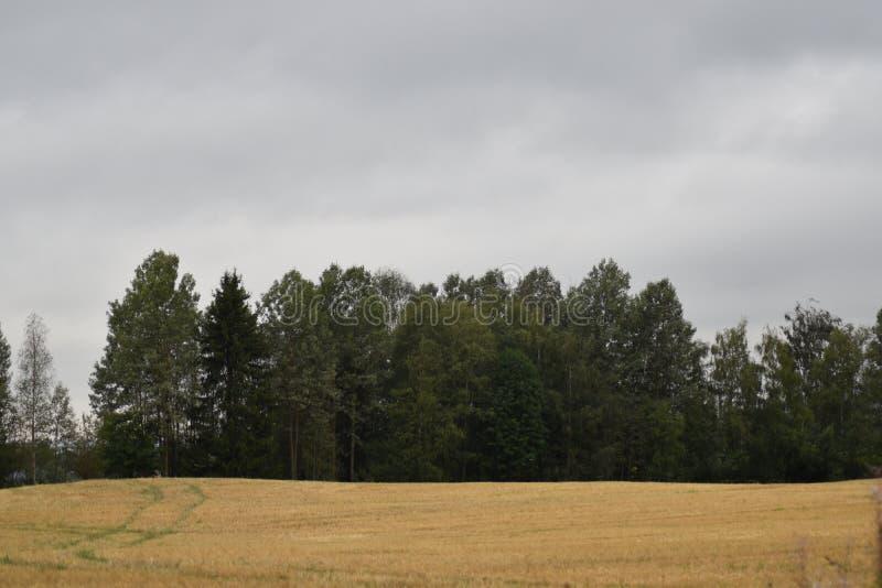 Kornfältet har redan skördats royaltyfria bilder