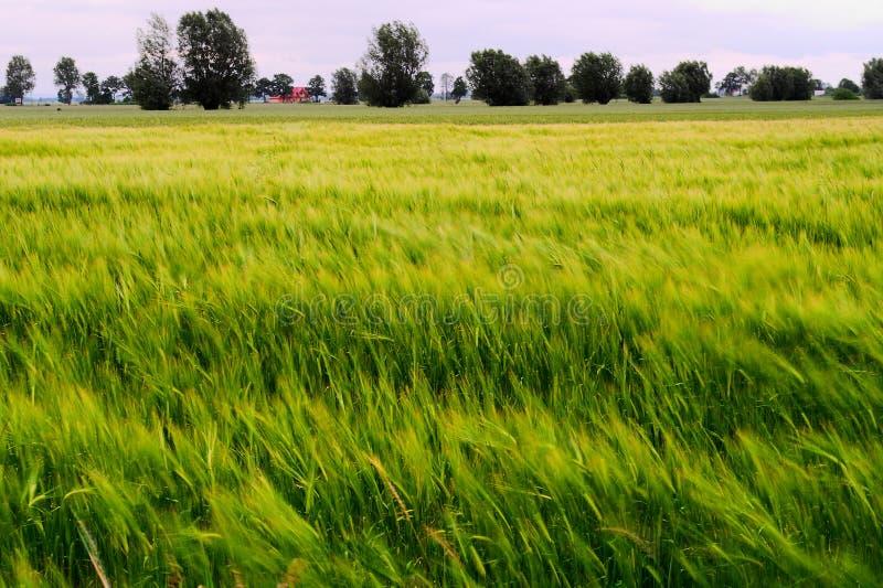 KornHordeumvulgare som växer på fält med öron av korn som är suddiga vid vind och lång exponering lantlig bygdliggande royaltyfri bild