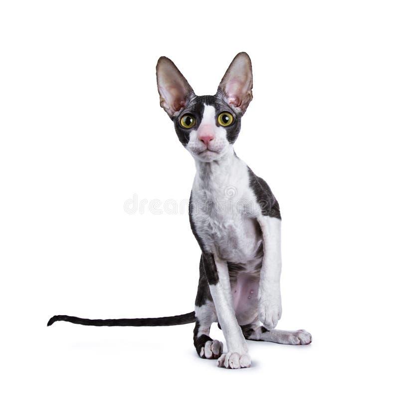 Kornische Katze/Kätzchen Rex, das Kamera gegenüberstellend sitzt lizenzfreie stockbilder