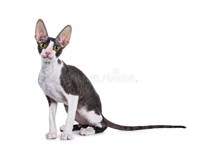 Kornische Katze/Kätzchen Rex, das Seitenweisen sitzt lizenzfreie stockfotografie