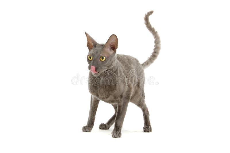 Kornische Rex Katze lizenzfreie stockfotografie