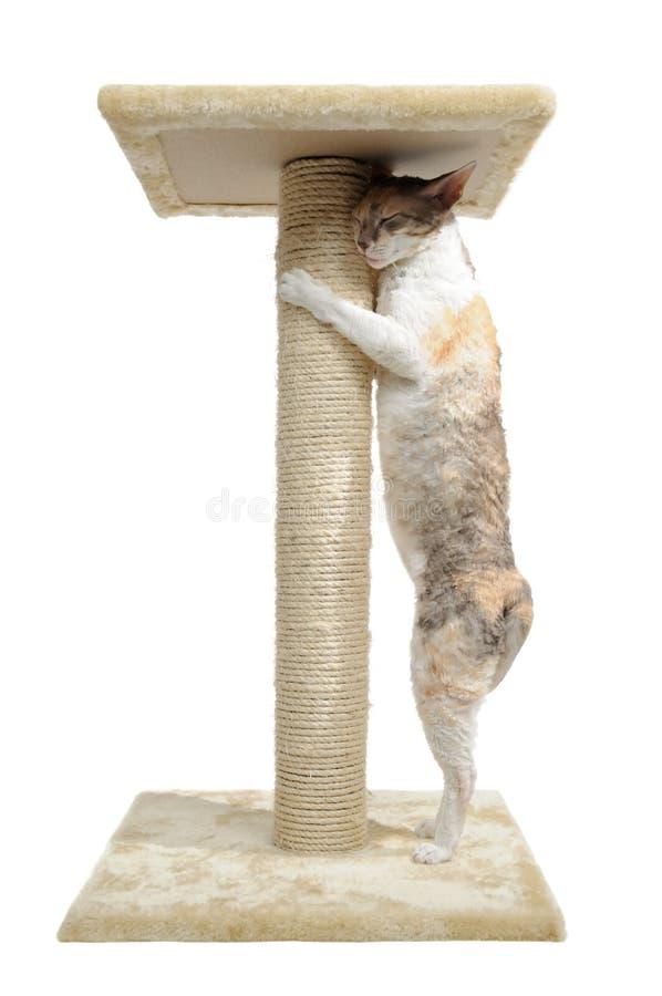 Kornische Rex Katze und löschen Pfosten lizenzfreies stockfoto