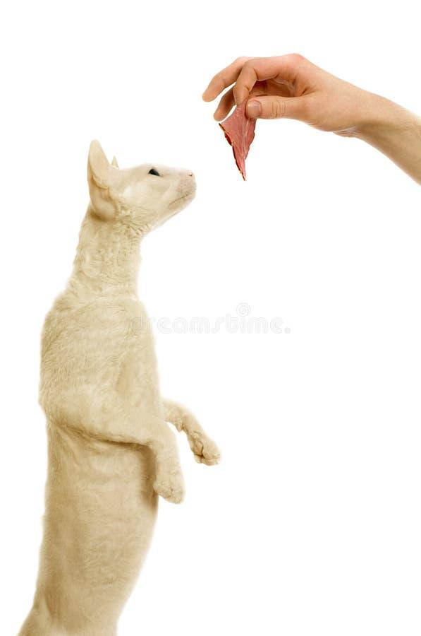 Kornischer-rex Katze und des Mannes Han stockfotos