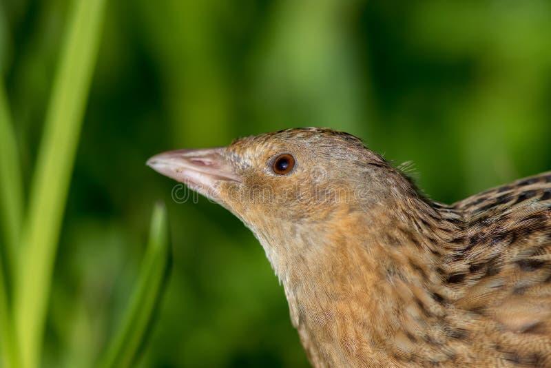 Kornknarr- eller landrailCrexcrexfågel i slut upp Grässlättwi arkivfoton