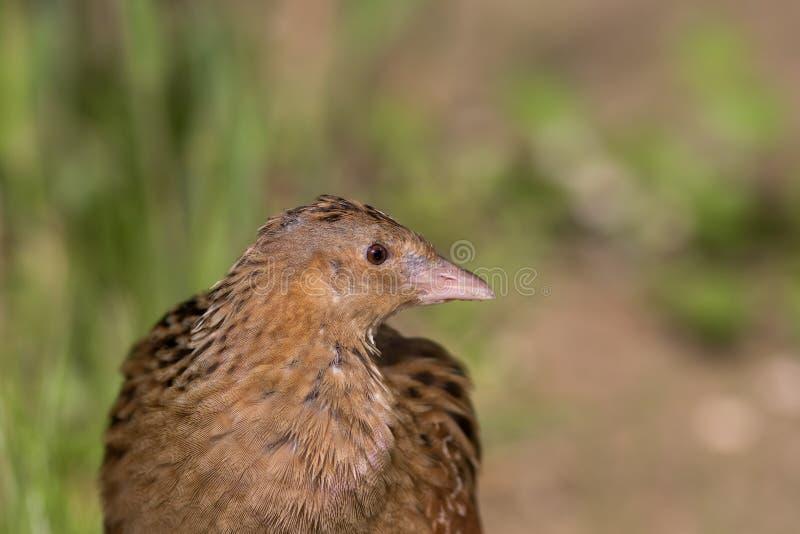Kornknarrfågel i övre profil för slut Bygdnaturslingan ska göra det royaltyfria bilder