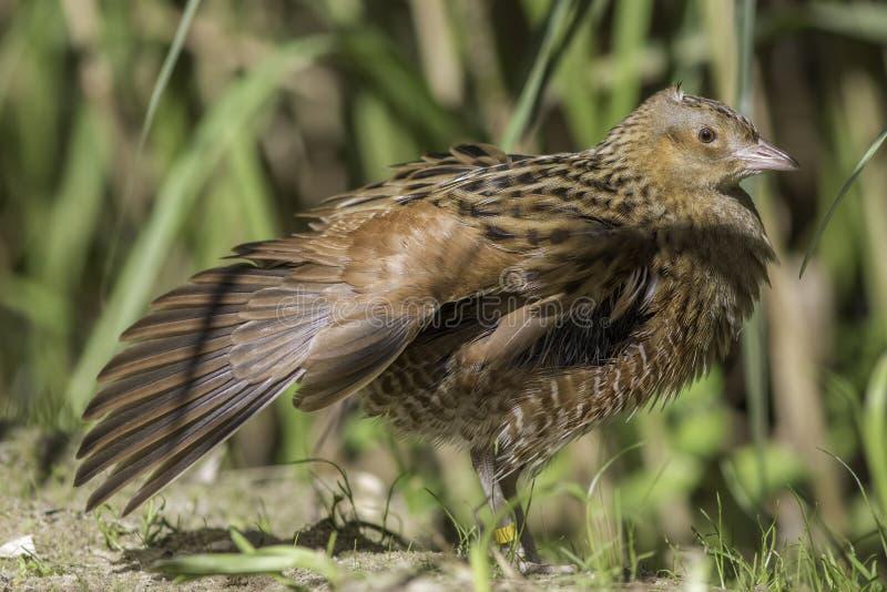 Kornknarrfågel med den utsträckta vingen arkivbild