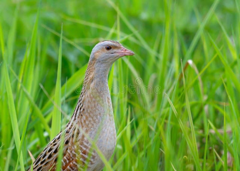 Kornknarrsammanträde i gräs fotografering för bildbyråer