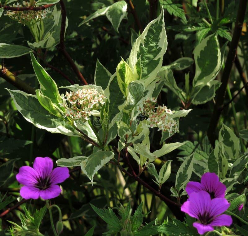 Kornoelje in bloem, met wilde geraniums, vroeg ochtend in de schaduw gesteld zonlicht royalty-vrije stock fotografie