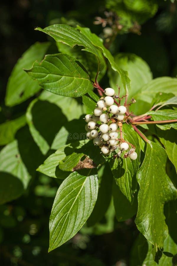 Kornoeljebladeren en Vruchten - Close-up - Cornus sericea royalty-vrije stock foto