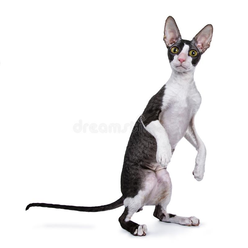 Kornwalijska Rex kota, figlarki pozycja na tylnych łapach/ zdjęcia stock