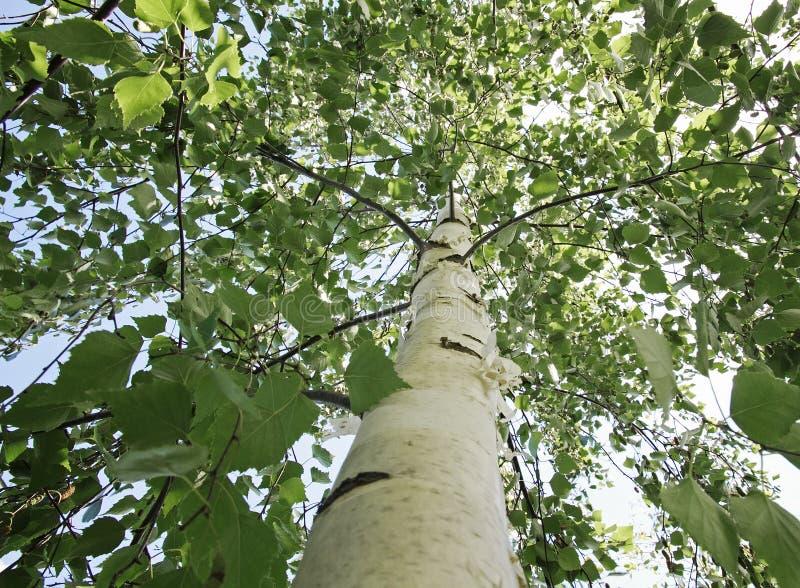Korona brzozy drzewo z zielonymi młodymi liśćmi obrazy stock