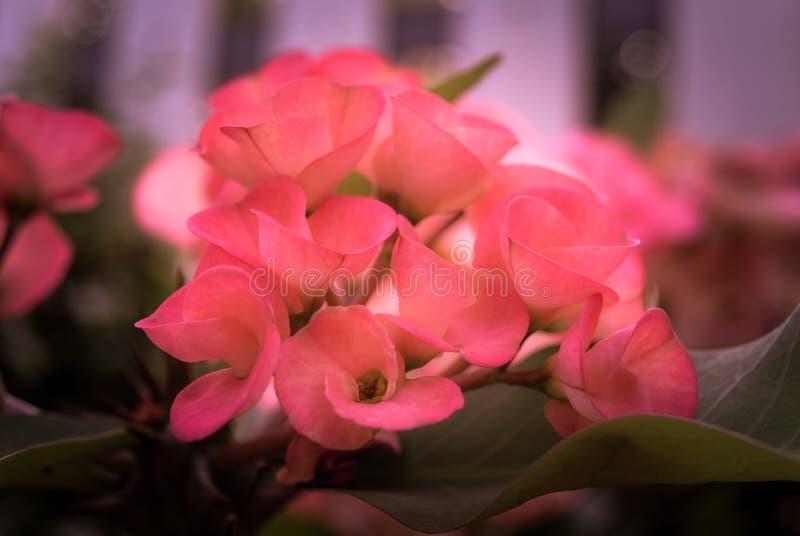 Korona cierni kwiaty fotografia stock